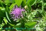 DSC_1442_Centaurea_nervosa_yagurumagiku_2a.jpg