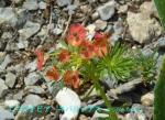 DSC_1447_Euphorbia_cyparissias_mtasubatodai_2a.jpg