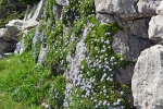 DSC_1464_Globularia_cordifolia_Ruri_kannzashi_1a.jpg