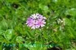 DSC_1478_Primura_farinosa_youshu_sakuraso_2a.jpg