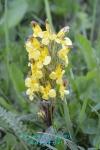 DSC_1508_Pedicularis_oederi_Kibanashiogama_2a.jpg