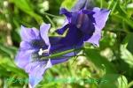 DSC_1523_Gentiana_acauris_chaborindo_2a.jpg