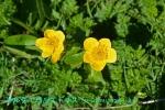DSC_1530_Caltha_palustris_shiberia_ryukinka_2a.jpg
