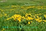 DSC_1541_Caltha_palustris_shiberia_ryukinka_2a.jpg