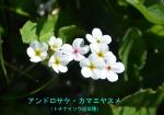 DSC_1568_Androsace_chamaejasme_Tochinaiso_2a.jpg
