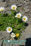 DSC_1638_Leucanthemopsis_alpina_kiku_ka_2a.jpg