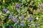 DSC_1658_Bartsia_alpina_Gomanohagusa_2a.jpg