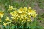 DSC_1662_Primula_elatior_Setaka_seiyousakuraso_2a.jpg