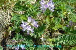 DSC_1665_Astragalus_alpinus_genge_zoku_2a.jpg