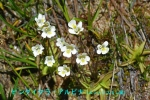 DSC_1673_Pinguicula_alpina_Mushitorisumire_zoku2a.jpg