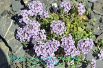DSC_1694_Thlaspi_rotundifolium_Gunbainazuna_zoku_2a.jpg