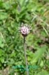 DSC_1705_Homogyne_alpina_Homogine_zok_2a.jpg