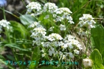 DSC_1720_Pritzelago_alpina_aburana_ka_2a.jpg