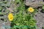 DSC_1768_Doronicum_grandiflorum_kiku_ka_2a.jpg