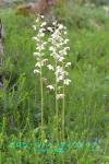 DSC_1801_Pyrola_rotundifolia_ichiyakuso_ka_2a.jpg