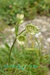 DSC_1815_Astrantia_major_seri-ka_2a.jpg