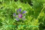 DSC_1824_Centaurea_montana_yagurumagiku_2a.jpg