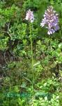 DSC_1864_Dactylorhiza_fuchsii_ranka_2a.jpg