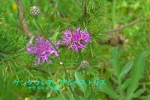 DSC_1943_Centaurea_alpestris_kikika_2a.jpg