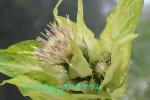 DSC_2244_Cirsium_oleraceum_2a.jpg