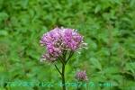 DSC_2309_Adenostyles_leucophylla_kikuka_2a.jpg