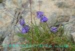 DSC_2462_Phyteuma_hemisphaericum_fiteuma_zoku_2a.jpg