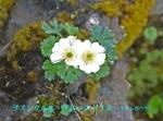 DSC_2475_Ranunculus_alpestris_iwakinpoge_2a.jpg