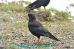 DSC_2538_alpine_Chough_kibashigarasu_2a.jpg