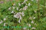 DSC_2618_Silene_vulgaris_shiratamaso_2a.jpg