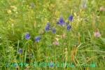 DSC_2627_Phyteuma_betonicifolium_fiteuma_zoku_2a.jpg