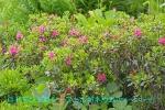 DSC_2652_Rhododenndron_ferrugineum_alpen_rose_2a.jpg