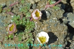 DSC_2889_Ranunculus_glacialis_kinpoge_zoku_2a.jpg