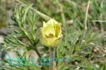 DSC_3235_pulsatilla_apiifolia_okinagusa_zoku_2a.jpg