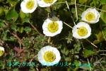 DSC_3278_Ranunculus_glacialis_kinpoge_zoku_2a.jpg
