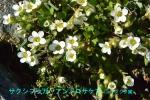 DSC_3387_Saxifraga_androsacea_yukoshita_zoku_2a.jpg