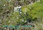 DSC_3392_Leontopodium_alpinum_ederuwaisu_2a.jpg