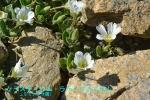 DSC_3407_Cerastium_latifolium_miminagsa_zoku_2a.jpg