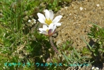 DSC_3479_Pulsatilla_vernalis_haruokinagusa_2a.jpg