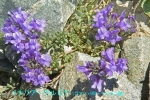 DSC_3555_Linaria_alpina_unnrann_zoku_2a.jpg