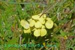DSC_3606_Erysimum_rhaeticum_ezo_suzushiro_zoku_2a.jpg