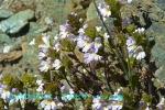 DSC_3720_Euphrasia_alpina_kogomegsa_zok_2a.jpg