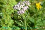 DSC_3760_Achilea_millefolium_seiyo_nokogiriso_2a.jpg