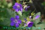 DSC_3928_geranium_sanguineum_2a.jpg