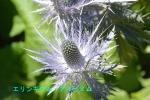 DSC_3977_Eryngium_alpinum_2a.jpg