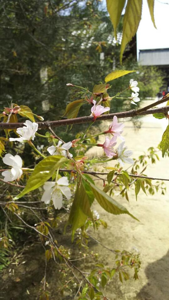 北野桜アップ