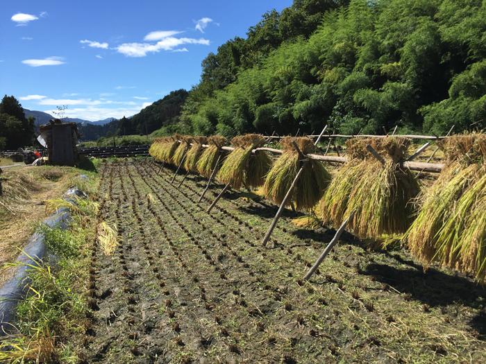 2016 農繁期 秋 コシヒカリ 稲刈り 1