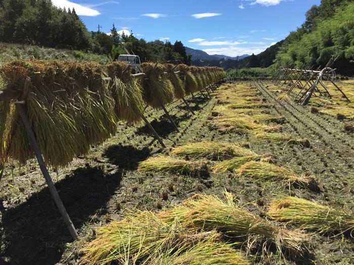 2016 農繁期 秋 コシヒカリ 稲刈り 2