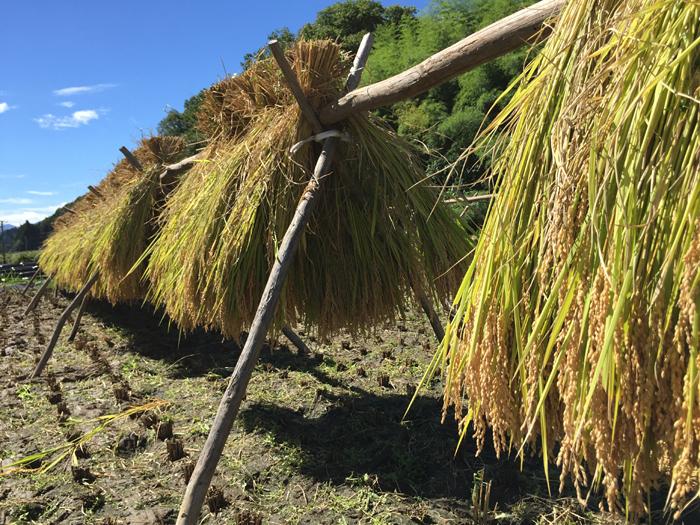 2016 農繁期 秋 コシヒカリ 稲刈り 4