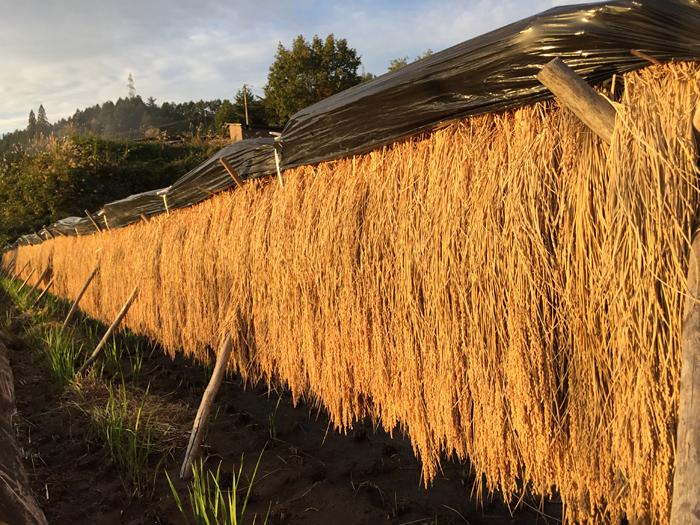2016 農作業 コシヒカリ 脱穀 1