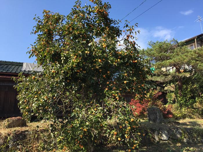 豊作 2016年 パワースポット 柿の木 1